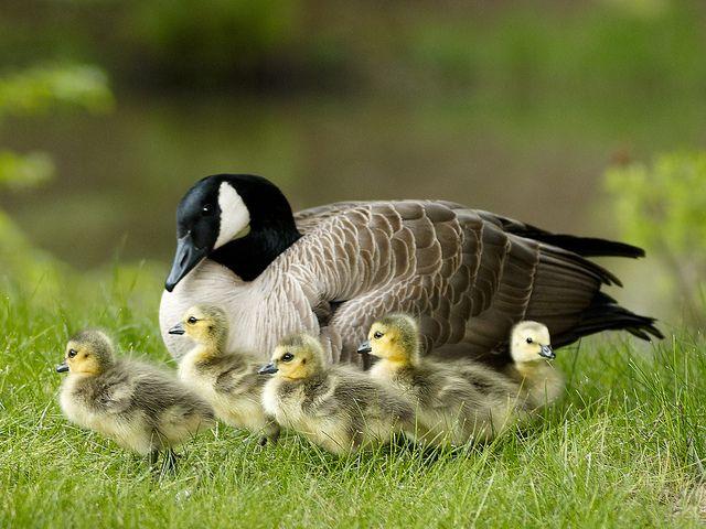 canada goose thompson obituary toronto canadagooseclearance rh sarataneyhumphreys com