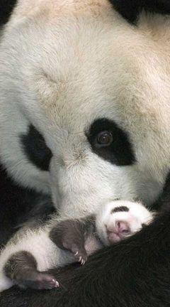 Mama and baby panda.