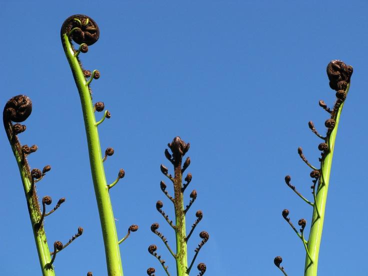 Koru - tree fern - NZ