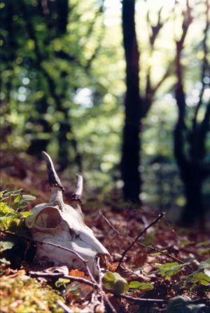 Her ser du kraniet fra et rådyr. En spidsbuk. Here you can see the skull of a deer.