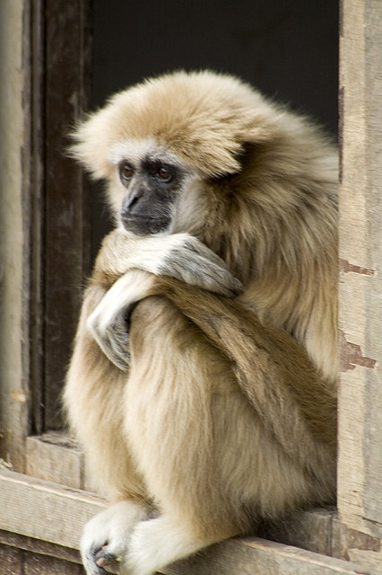 Gibbon monkey contemplating life...
