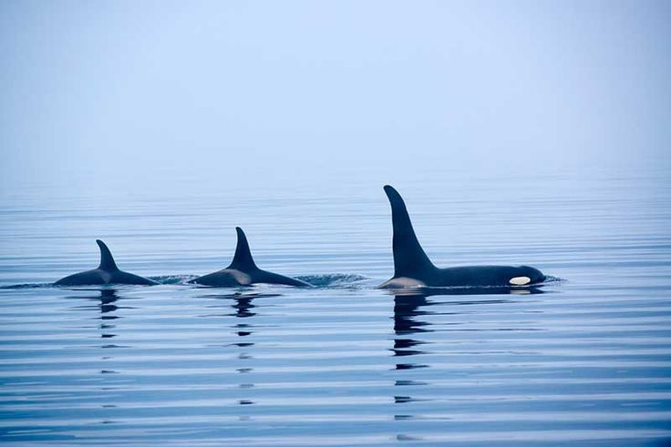 Circulating report claims that 16 members of a Japanese whaling crew have been killed and eaten by a school of killer whales.