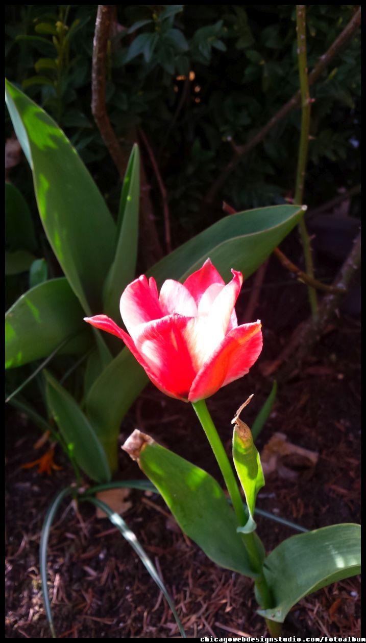 tulipan #kwiaty #flowers #polish flowers #polskie kwiaty #kwiatki #kwiaty ogrodowe #kwiaty polne #kwiaty leśne #przebiśniegi #śnieżyczki #pierwiosnki #kwiaty wiosenne #wiosna #spring #krokusy #przebiśniegi #hiacynty #przyroda #natura #kwiaty wiosenne #spring flowers #polish flowers #Polskie kwiaty #tulipan