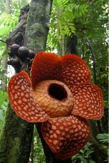 The	Corpse Flower, the biggest flower in the world, found in Indonesia. It's rare and smells like rotting meat...but it's Beautiful
