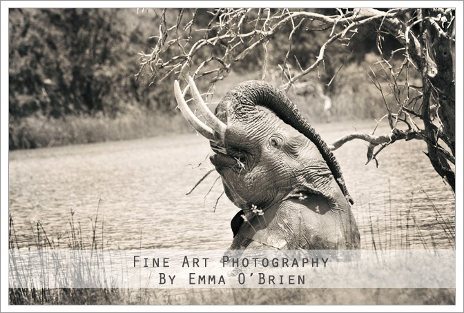 Elephant playing at Pilanesberg National Park http://emmaobrien.com