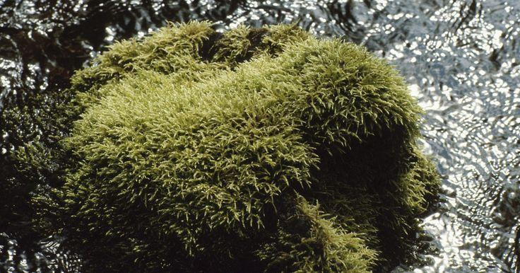 ¿Cómo deshacerse del musgo que crece en aceras y senderos?. El musgo es una adición bastante atractiva a tu jardín siempre y cuando esté creciendo en el lugar adecuado, por ejemplo, en las rocas. Si el musgo se ha posesionado de tus aceras, pasillos, escalones de piedra, senderos o caminos de grava, no sólo deja de ser lindo, si no que se vuelve inseguro. El musgo siempre está húmedo y es muy resbaladizo, ...