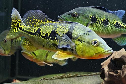 NEW FISH Peacock bass - Aquarium Advice - Aquarium Forum ... |Peacock Bass Aquarium