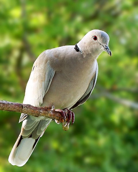 Eurasian Collared Dove - The other possible relative Ring-necks came from.