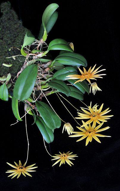 Bulbophyllum makoyanum orchid
