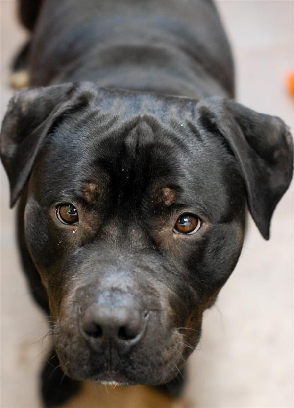 No longer available - Lord - Pit Bull Terrier mix - Des Moines, IA.  3 yrs old