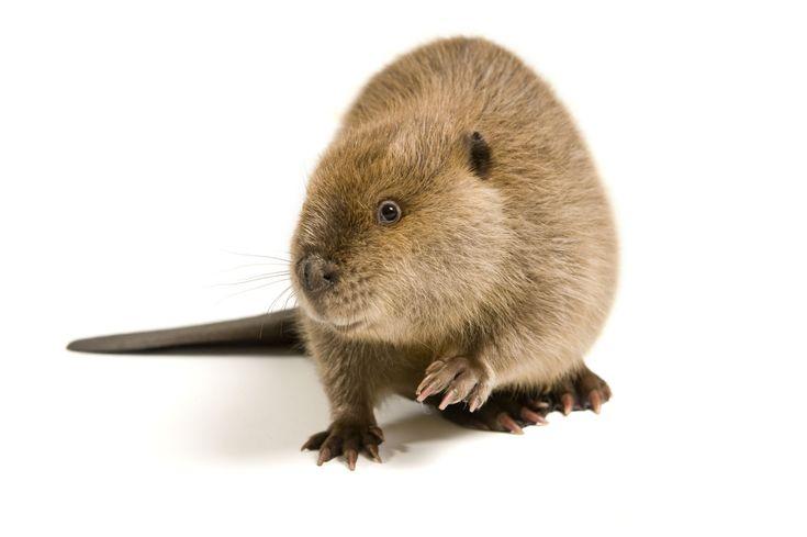 Nyc beavers