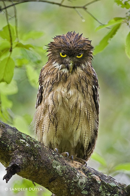 17 best images about birds on pinterest herons gone for Do owls eat fish