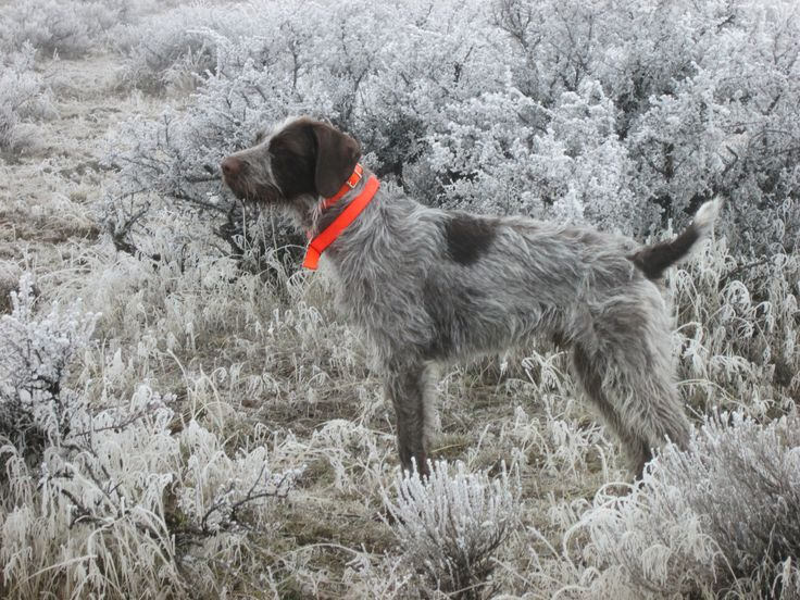 German Wirehaired Pointer Pheasant Hunting German