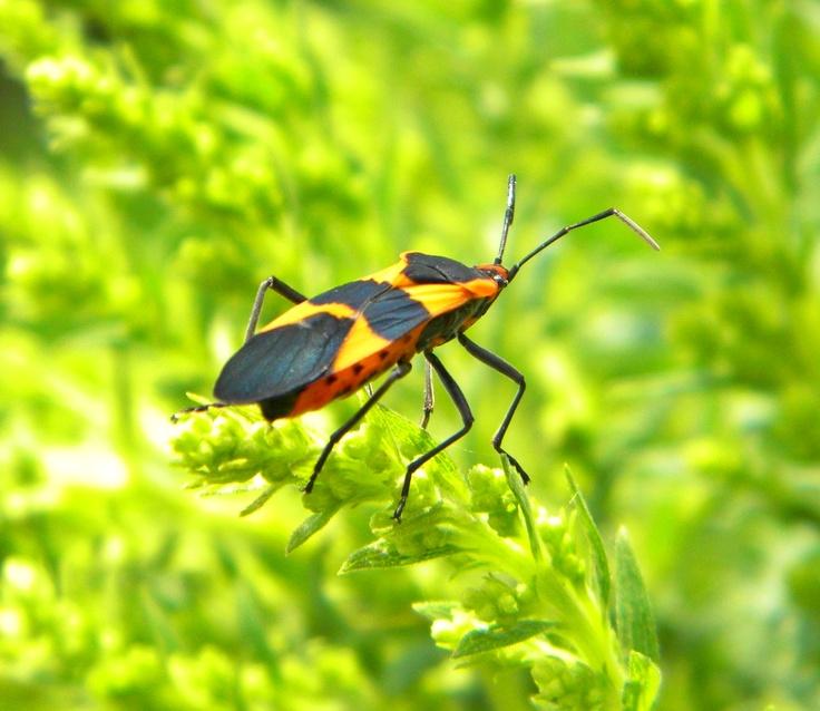 black and orange bug butterflies bugs pinterest. Black Bedroom Furniture Sets. Home Design Ideas