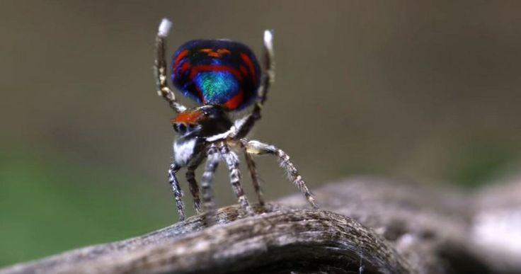 Australia, ragni pavone: scoperte sette nuove specie