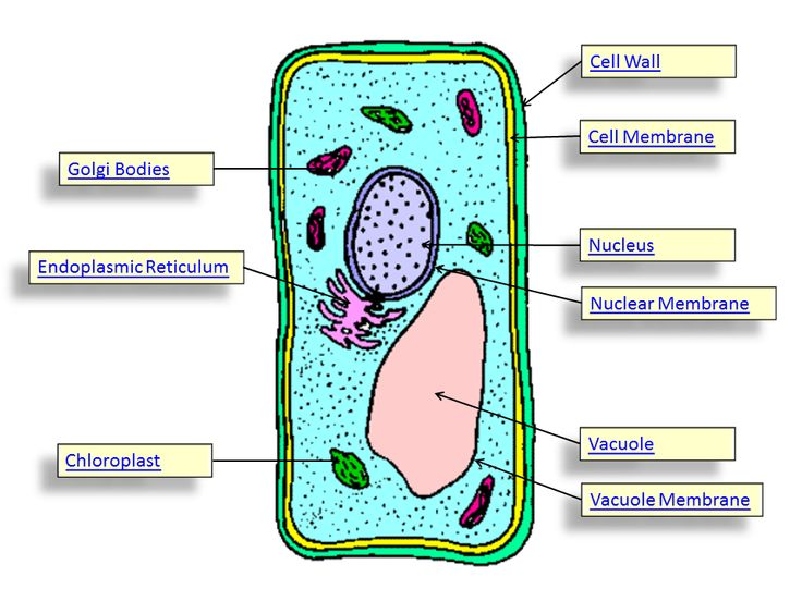 plant cell parts | plant cell | verna science | Pinterest ...