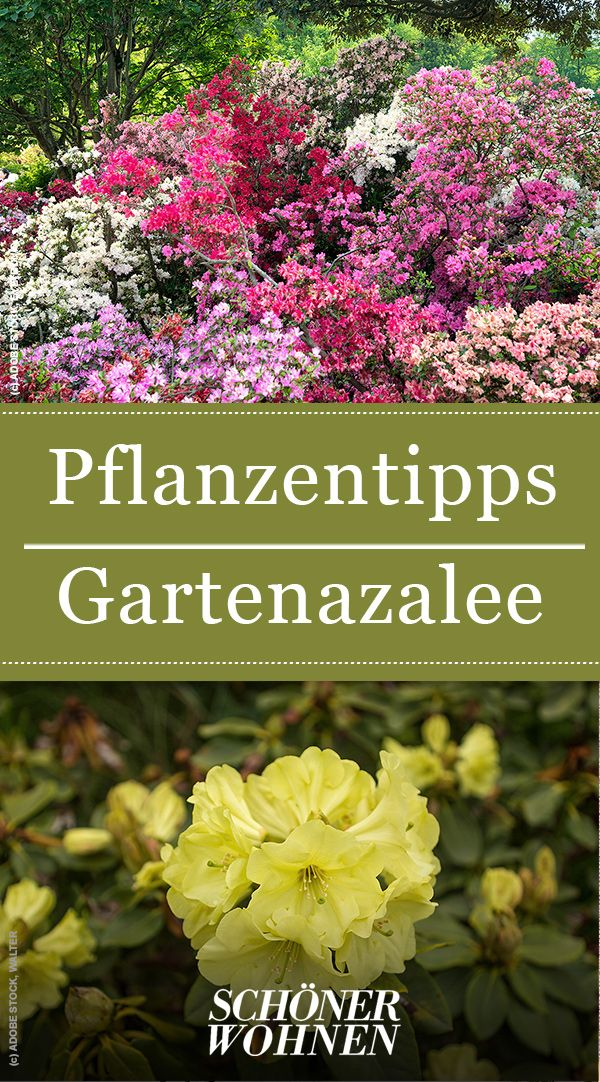 Gartenazalee Japanische Azalee Und Knap Hill Azalee Immergruner Garten Garten Garten Pflanzen