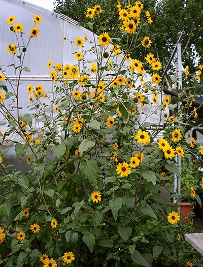 wild sunflower (Helianthus annuus) - Google Search