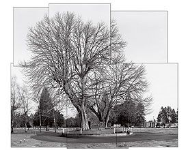 An 88-foot-tall American chestnut thrives in Olympic Memorial Park in Tumwater, Washington. The tree, the largest healthy American chestnut in the United States, was planted by settlers who brought chestnut seed with them from the East Coast. Photograph by James Balog