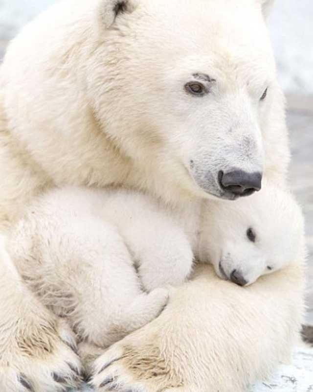Картинки белого медведя с детенышами