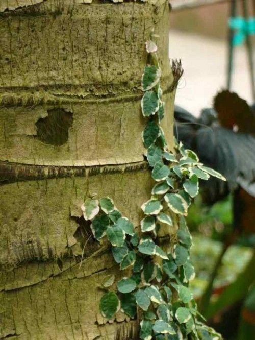 Cultivo y Cuidados del Ficus Pumila o Enamorada del Muro