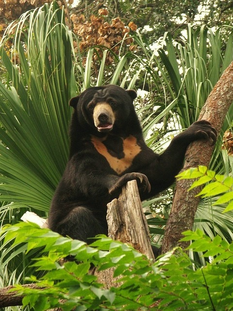Sun Bear Facts: The Sun Bear is the smallest species of bear in the world and it is also one of the most unique, being the only member of it's family that has not only adapted to living in the jungle but also leads an exclusively tree-dwelling life. They are found inhabiting the dense, tropical forests of south-east Asia. It also has the shortest fur.