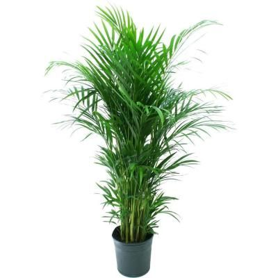 50 in. tall Areca Palm in Decorative Pot from Home Depot: $19.99