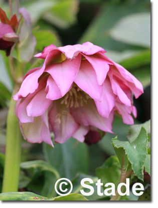 Helleborus orientalis 'HGC Frilly Kitty' (Frühlings-Garten-Nieswurz) Bild 2