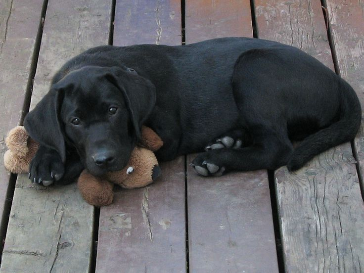 Image result for 3 month old black lab with toy