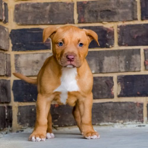 Image result for Red nose PitBull puppies for sale