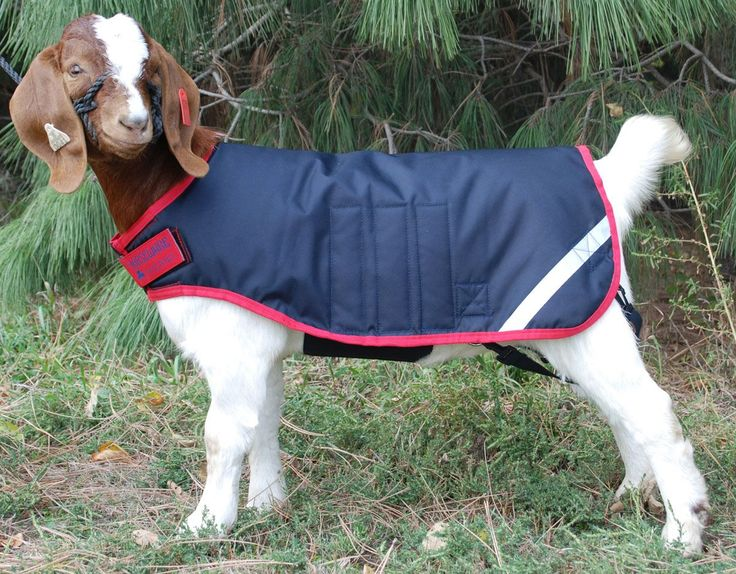 113 Best Goats In Coats Images On Pinterest Pygmy Goats
