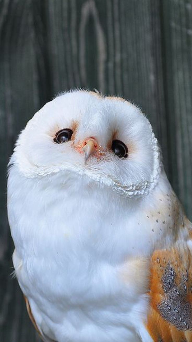 25+ best ideas about White owls on Pinterest | Owls, Beautiful owl ...