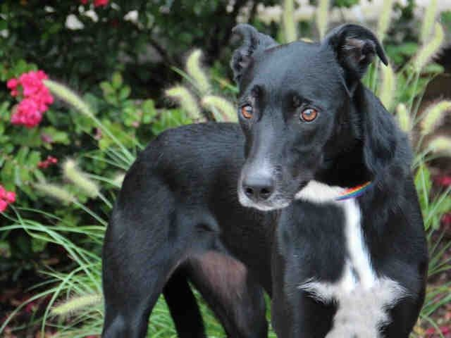 Coco-whippet/Lab mix is available from Humane Society of Missouri St Louis City http://www.hsmo.org/adopt/all-dogs.html