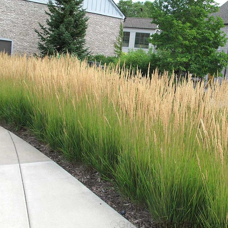 Karl Foerster Feather Reed Grass makes the perfect, long-blooming   Hedge Plant   with its months of colorful flower stems rising to 5' tall.   A favorite upright ornamental grass for the sun garden, Karl Foerster Calamagrostis begins its spectacular flower show in early summer & remains colorful right thru the hard frosts of fall!   Easy to grow, erect Feather Reed grass produces grain-like seed heads in early summer.   Winner of the Perennial Plant Association Perennial of the Yea...
