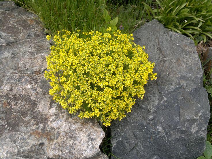 kvetoucí kámen