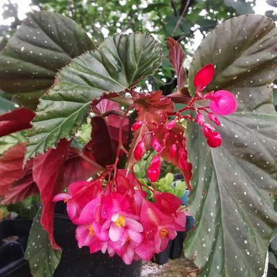 Spotted Leaf Angel Wing Begonia Pink Begonias Have Large