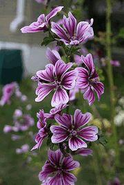 Мальва розовая, или Шток-роза — это, можно сказать, символ украинского палисадника. Эта высокая статная красавица также привычна здесь, как и невысокие кустики тагетесов (чернобривцев). Ее цветы, как символ солнца, украшали комоды, стены и печи. Это многолетнее растение, культивируемое как двулетник, зацветает на второй год после посева. (О двулетниках читайте здесь).Шток-роза холодостойка и засухоустойчива, слабо поражается ...
