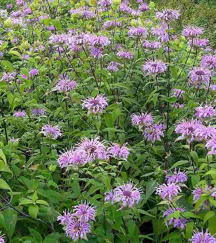 Native Ontario Plants: Wild Bergamot ...attracts To Hummingbirds