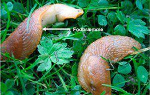 Dræbersneglens fodbræmme er orange/orangebrun.  Foto: Naturstyrelsen