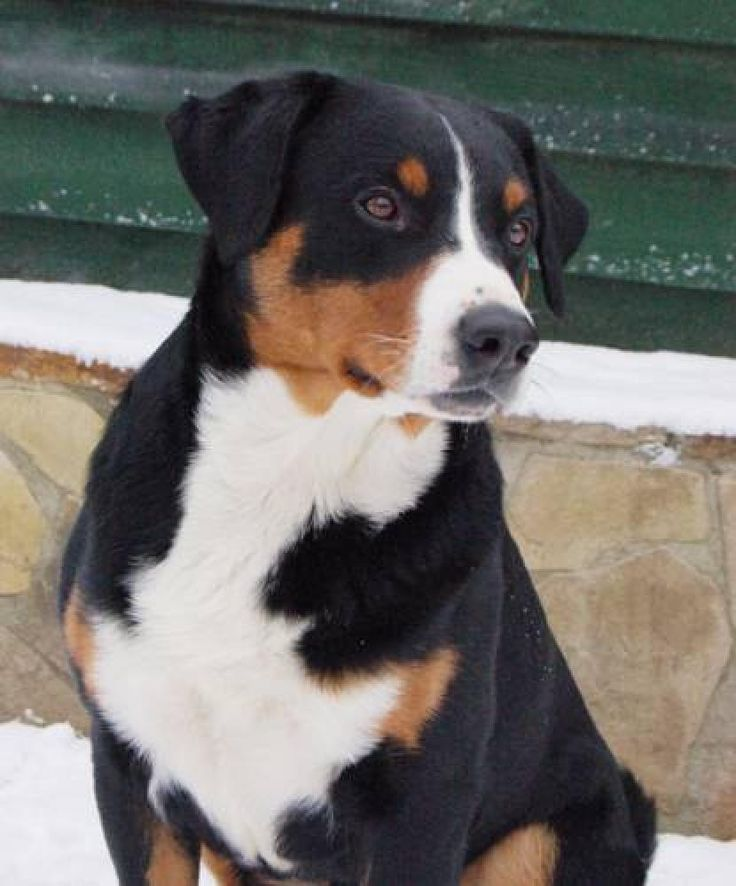 Appenzeller Sennenhund In 2020 Sennenhund Entlebucher Sennenhund Appenzeller Sennenhund