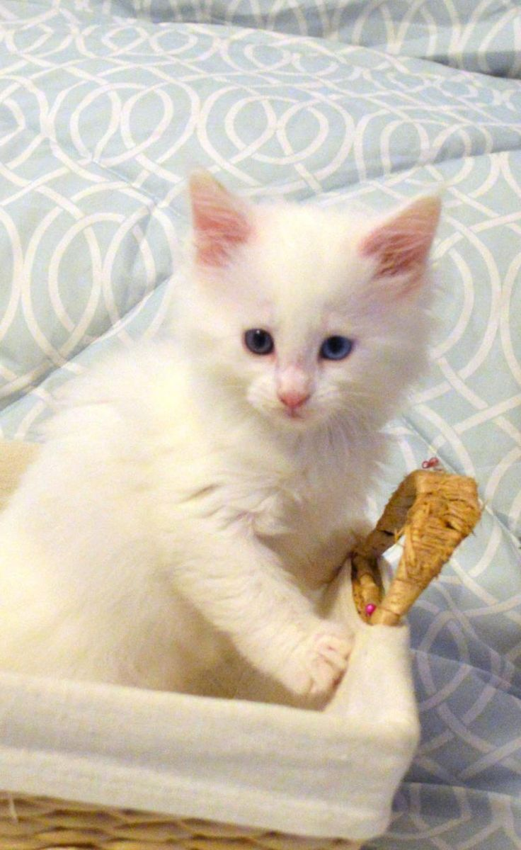 Available purebred Maine Coon kittens for sale http