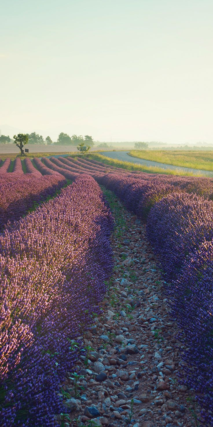 Sunrise over the lavender fields in Provence - by Lauren Bath