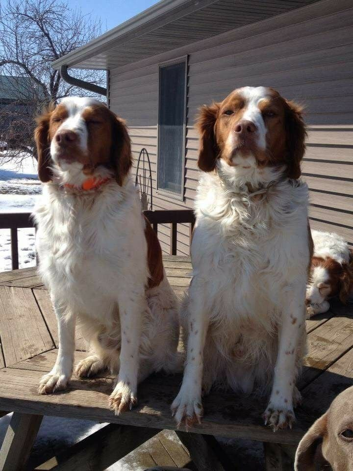 Pin By Larry On Brittany Spaniel Cute Animals Brittany Spaniel Dogs