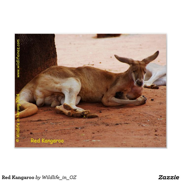 Red Kangaroo Poster - Click on photo to view item then click on item to see how to purchase that item. #kangaroo #redkangaroo #marsupial #poster #wildlife #australianwildlife #zazzle