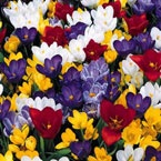 Mixed crocus colors from our small bulb booth: Bed Colors, Crocus Colors, Bulb Booth, Color Collection, Flower Bulbs, Carpet, Flowers, Garden, Deck Bed