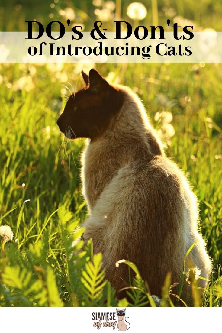 The Do S And Don Ts Of Introducing Cats Siamese Of Day Cat Quotes Cat Quotes Funny Cat Parenting