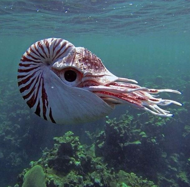 Nautilus - a pelagic marine mollusc of the cephalopod family by Dave Deepwater