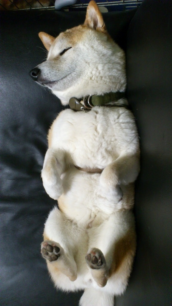 Shiba Relaxin' Trixie sleeps just like this.