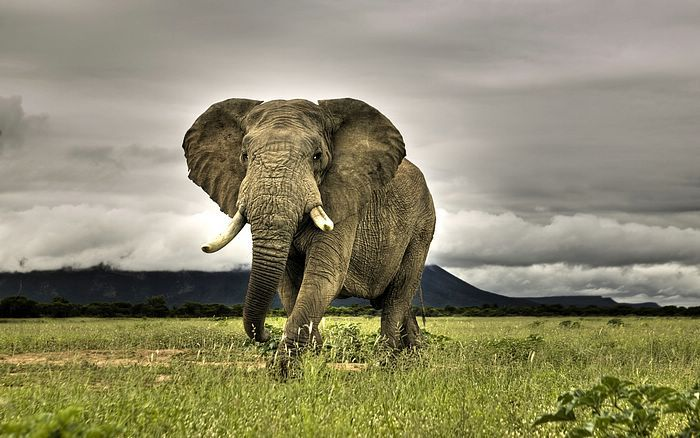 Eyes Go Travel: America and South Africa  - Pictures:  African Elephant Walking on Savanna, Marakele National Park, South Africa27