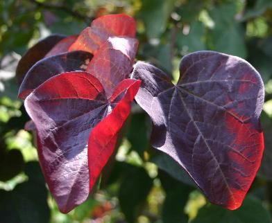 Cercis canadensis 'Forest Pansy'  blooms in spring are pink pea like blossoms